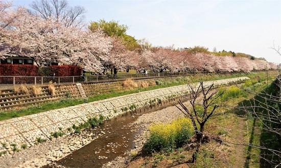 210327nogawa-sakura