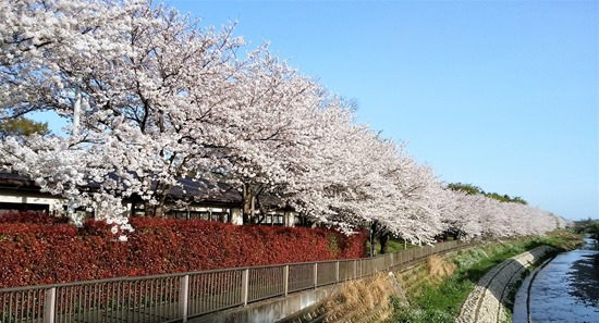 210329nogawa-sakura