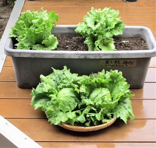 210429tama-lettuce