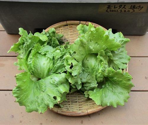 210501tama-lettuce2
