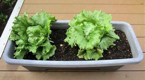 210501tama-lettuce