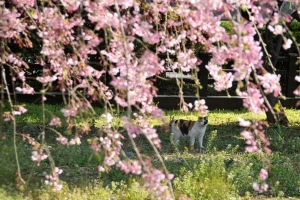 枝垂桜の中の三毛猫