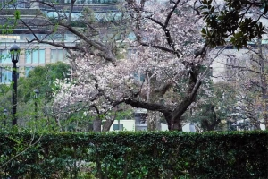 Sakura tree with early blossoms