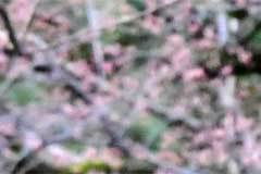 Sakura buds (blurred)