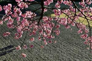 Sakura (Prunus x kanzakura)