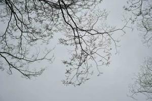 Keyaki trees