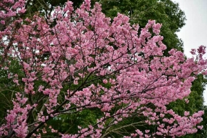 Yôkô the Cherry Blossom