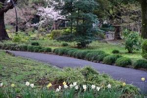 Sakura tree and daffodils