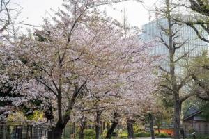 Sakura blossoms