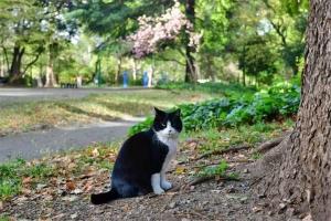日比谷公園の野良猫と後方の八重桜