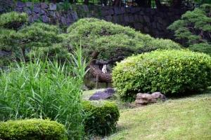 Myi The Cat in Pine Tree