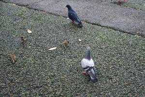 Pigeons and Sparrows