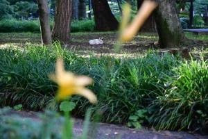 Hemerocallis (Daylilies)
