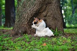 三毛猫さくら Sakura-chan The Cat 桜猫