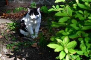 白黒猫 Junko The Cat 桜の国の猫