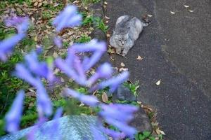 灰色猫 Gure The Cat アガパンサス Agapanthus