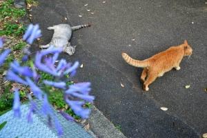 灰色猫 茶トラ猫 Gure and Chato The Cats アガパンサス Agapanthus