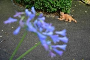 茶トラ猫 Chato The Cat アガパンサス Agapanthus