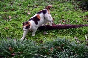 三毛猫さくら Sakura-chan The Cat ジャパニーズボブテイル猫