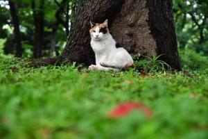 三毛猫さくら Sakura-chan The Cat 桜の国の猫