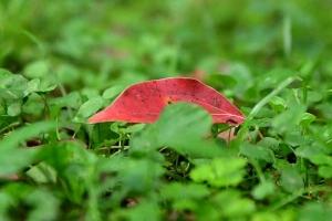 クスノキの落ち葉 Kusunoki Leaf