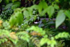 三毛猫さくら Sakura-chan The Cat 緑の葉の間から