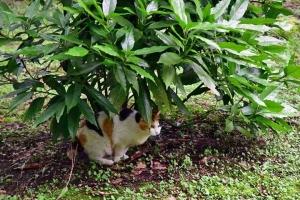 三毛猫さくら Japanese Laurel (Acuba japonica) and Japanse Bobtail