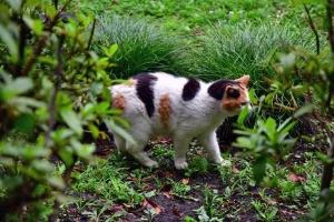 三毛猫さくら Japanese calico cat Sakura