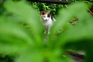 緑と三毛猫さくら Japanese bobtail cat Sakura