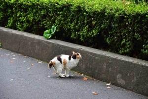 三毛猫さくら Japanese bobtail cat Sakura