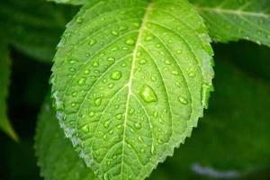 アジサイの葉 Hydrangea Leaf