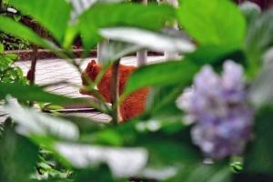 茶トラ猫 Sakura Land Cat 桜の国の猫