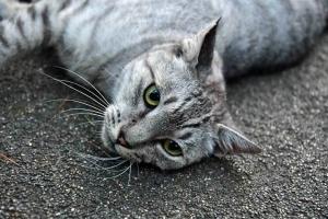 寝そべり猫が見つめる
