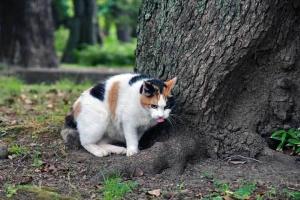 三毛猫さくら 舌出し