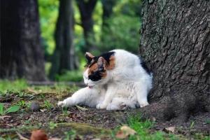 三毛猫さくら 毛づくろい