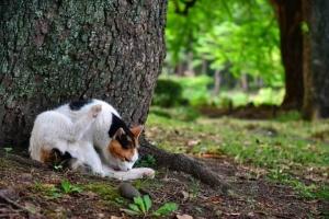 日比谷公園の三毛猫さくら 毛づくろい