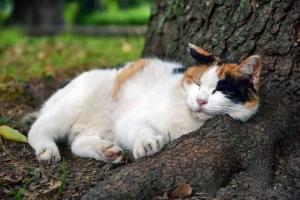 あごのせ猫 三毛猫さくらちゃん @日比谷公園
