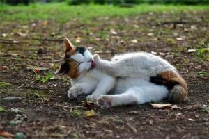 横座り猫 三毛猫 さくらちゃん @日比谷公園