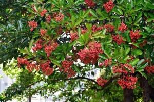 サンゴジュ Sweet viburnum @日比谷公園