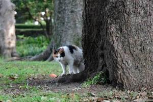 木の後ろから、三毛猫さくら Sakura-chan