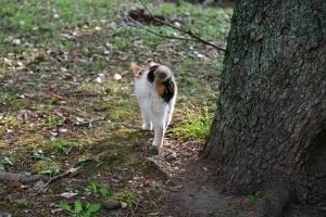 三毛猫さくら Sakura-chan