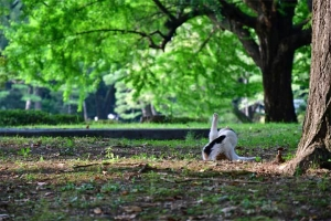夏のイチョウの木と猫