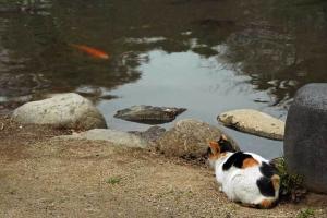 日比谷公園雲形池と三毛猫さくら、コイコイ猫