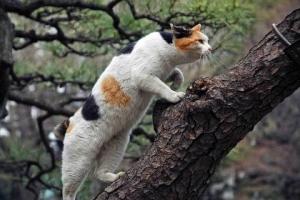 松の木に登る日比谷公園の三毛猫さくら