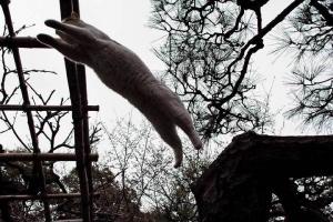 藤棚にジャンプする日比谷公園の三毛猫さくら