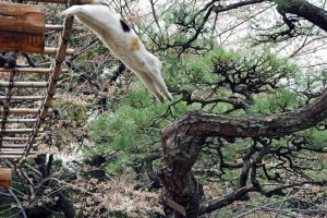 藤棚から飛び下りる日比谷公園の三毛猫さくら