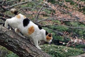 日比谷公園の咲き始めの桜と松の木から下りる三毛猫さくら