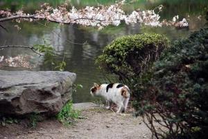 日比谷公園の咲き始めの桜と三毛猫さくら
