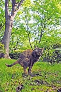 さわやかな新緑の中のウンチ猫(サビトラ)
