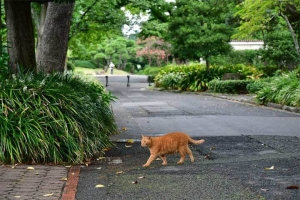 チャトラ猫が横切る ginger cat crossing the path